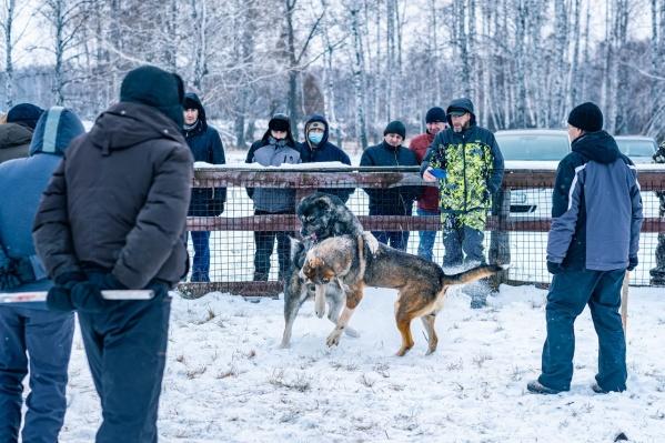 Суть таких боев в том, что животные дерутся друг с другом по-настоящему, а люди смотрят и делают ставки