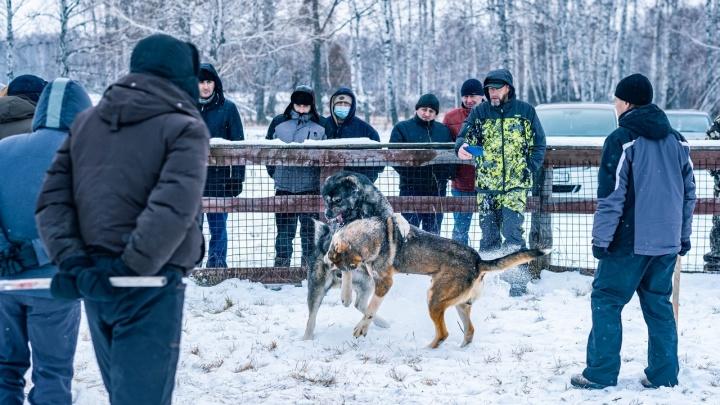 В Ишиме пожаловались на кровавые собачьи бои. Кто их организует и законно ли это?