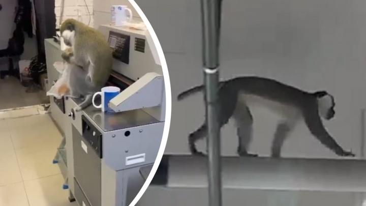 В Асбесте обезьяна сбежала с выставки животных, открывшейся в местном ТЦ