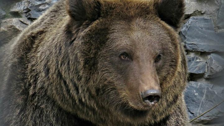 В 50 километрах от Новосибирска замечен медведь — он вышел к краю поселка