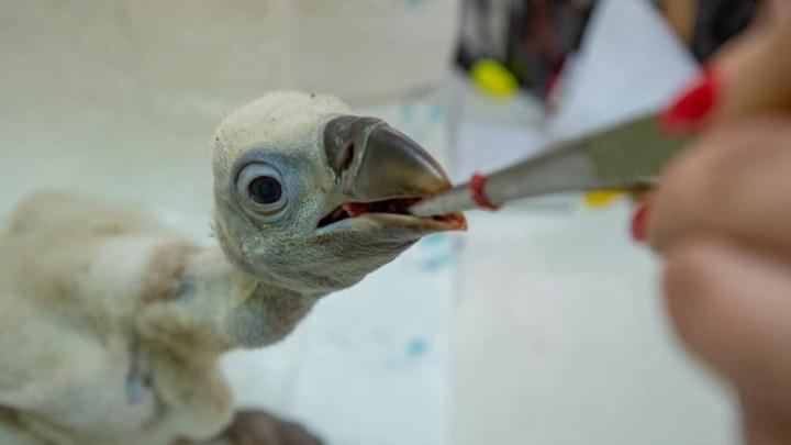 В ростовском зоопарке спасли птенца белоголового сипа