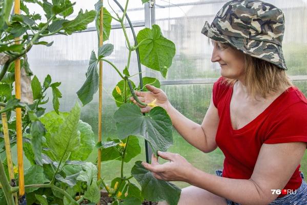 Чтобы листья у огурцов были красивого зеленого цвета, за ними надо внимательно следить