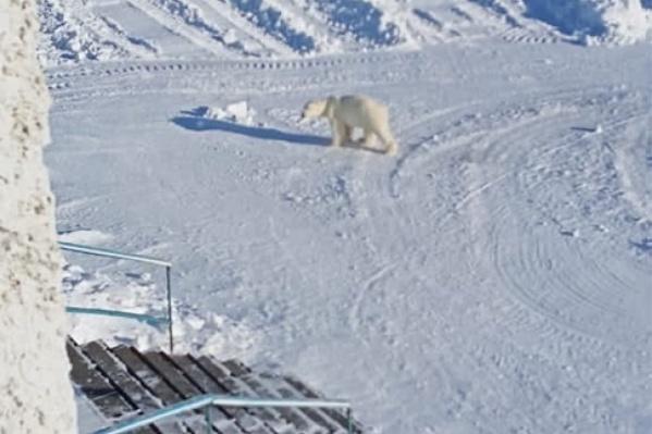 Белый медведь спокойно гуляет по поселку
