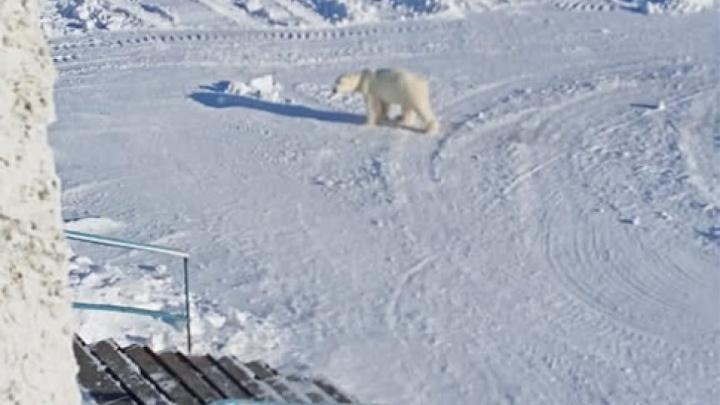 На Диксоне ввели комендантский час из-за появления белого медведя на острове