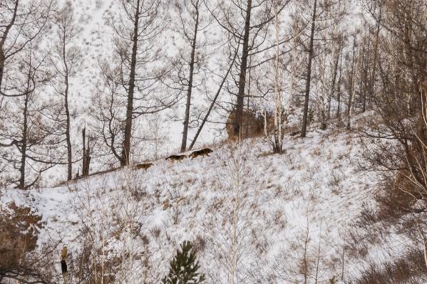 Нападение диких собак произошло на скале Рыжая