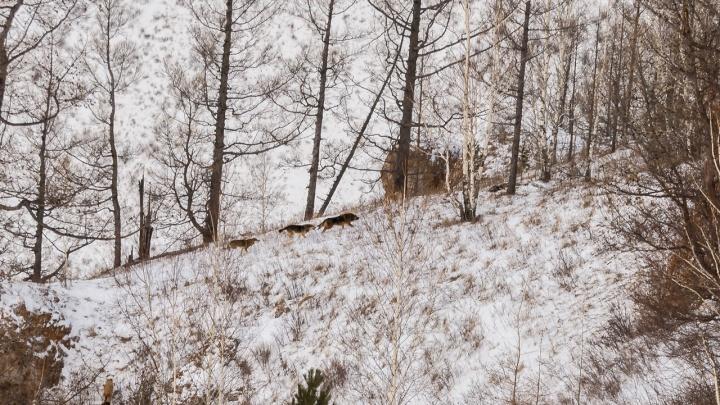 «Часто приходится отстреливаться»: фотограф спас маралов от огромной стаи собак на Торгашинском хребте