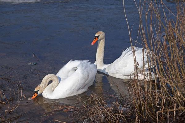 Известный фотограф Урюпинска показала красивую любовь белых птиц