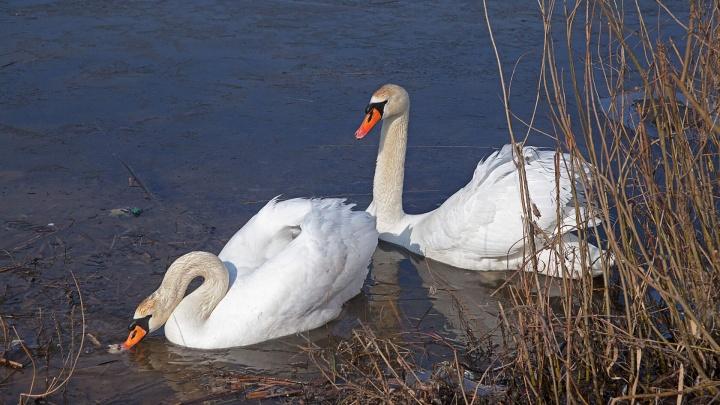 Зорко стережет любимую: парочка лебедей обосновалась на озере Волгоградской области