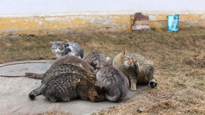 В интернете прославились бугринские коты из Новосибирска: откуда они взялись и правда ли, что их больше 10