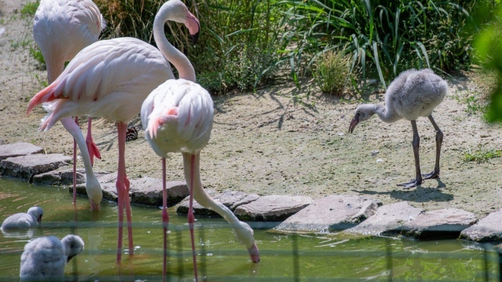 Впервые за 10 лет розовый фламинго родился в зоопарке Ростова