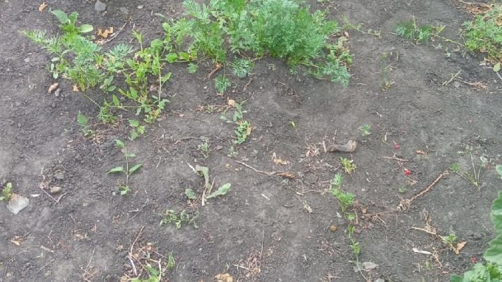 «Морковки в этом году нам не пожевать». Тюменские садоводы жалуются на низкий урожай овощей