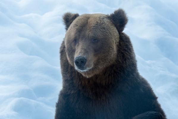 Зимой медведям очень сложно найти себе пропитание