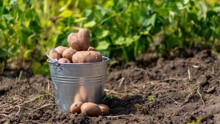 «Битва за картошку»: радиоведущие вскопают урожай победителю нового конкурса