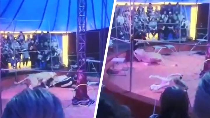 Во время гастролей Уральского цирка под Новосибирском львица напала на дрессировщика