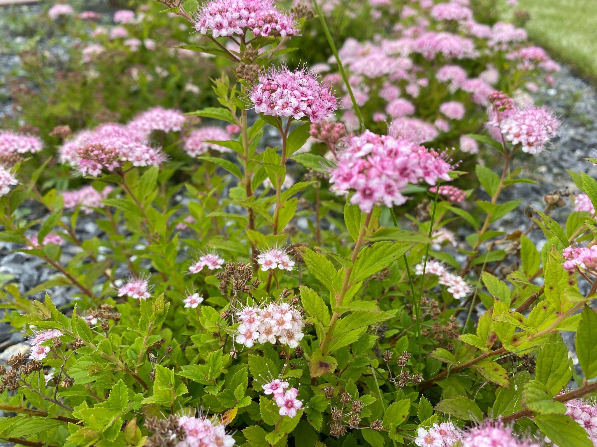 Спирея японская «литтл принцесс» — карликовое растение