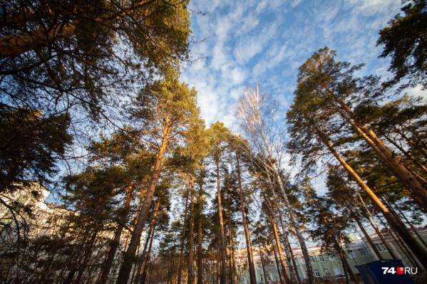Снос деревьев в городском бору, по мнению медика, даже для благого дела — это табу