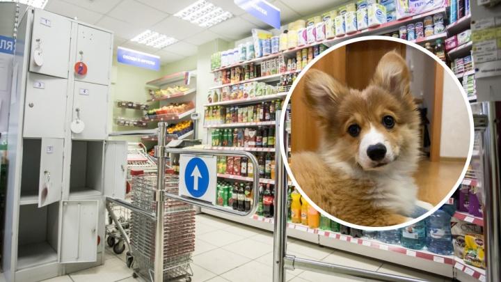 «Собака — имущество. Как и смартфон, авто». Возмущенная колонка сибирячки, которую выгоняют из магазинов с вельш-корги