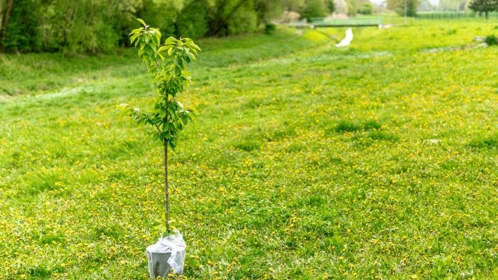 Сажать, бежать, сортировать: в Ростовской области высадили 6,5 тысячи деревьев к акции Зелёный Марафон