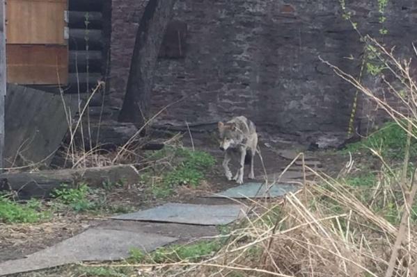 Для волчицы ищут место в том числе и в частных зоопарках