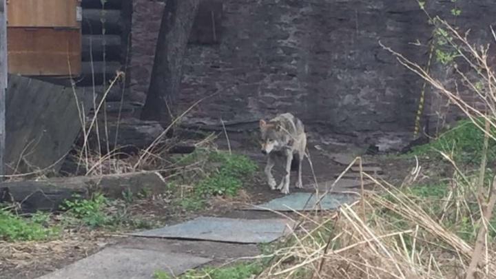 Краевое Минэкологии ищет зоопарк, готовый принять найденную в Красноярске волчицу