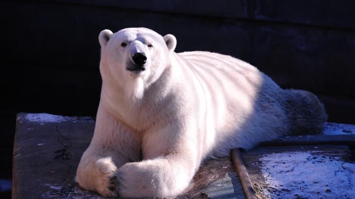 «Прости нас, Умка». В Екатеринбургском зоопарке умер белый медведь
