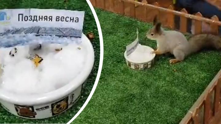 Бельчонок из Екатеринбургского зоопарка предсказал позднюю весну