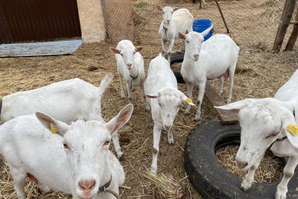 Козоводство, овцеводство, разведение крупного рогатого скота — самарских фермеров в видах деятельности не ограничивают, главное — вступить в сельхозкооператив