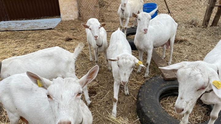 На козий сыр и баранину: в Самарской области заработал «Агростартап-регион»