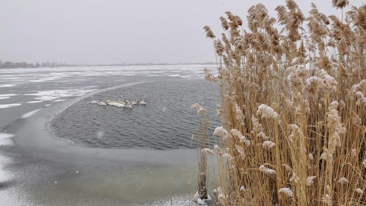 Солёное озеро в Батайске сковало льдом. Местным жителям пришлось спасать молодых лебедей