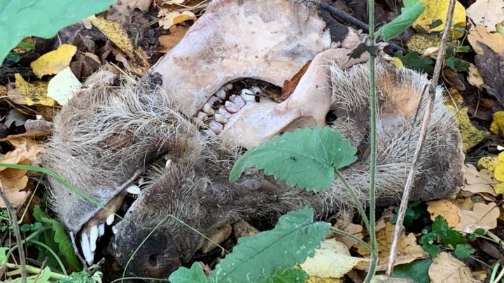 «Стынет кровь в жилах»: в Кудьме неизвестные выкидывают останки животных в полях