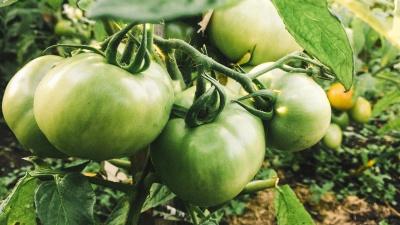 Зелеными не рвать! Как собрать урожай помидоров, за который вам не придется краснеть