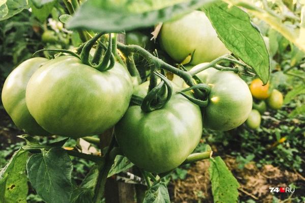 Принято считать, что срывать зеленые помидоры и оставлять их дозревать — нормально. Но это не совсем правильно