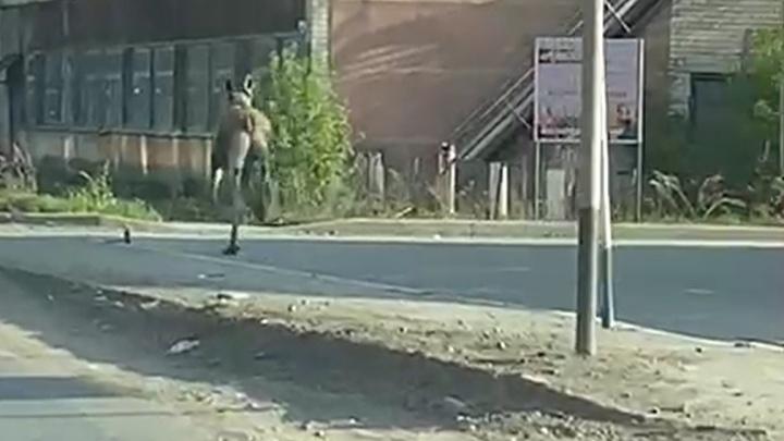 В Артёмовском лося, бегавшего по городу, сняли на видео