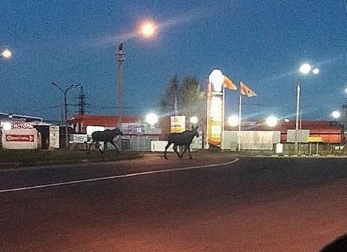 Жительница Архангельска сняла на видео двух лосей на Окружном шоссе