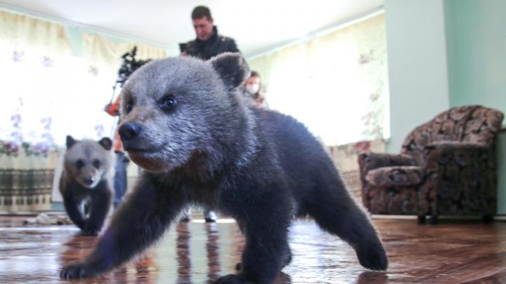 Пополнение в медвежьем семействе: в уфимском Парке лесоводов появились на свет три малыша