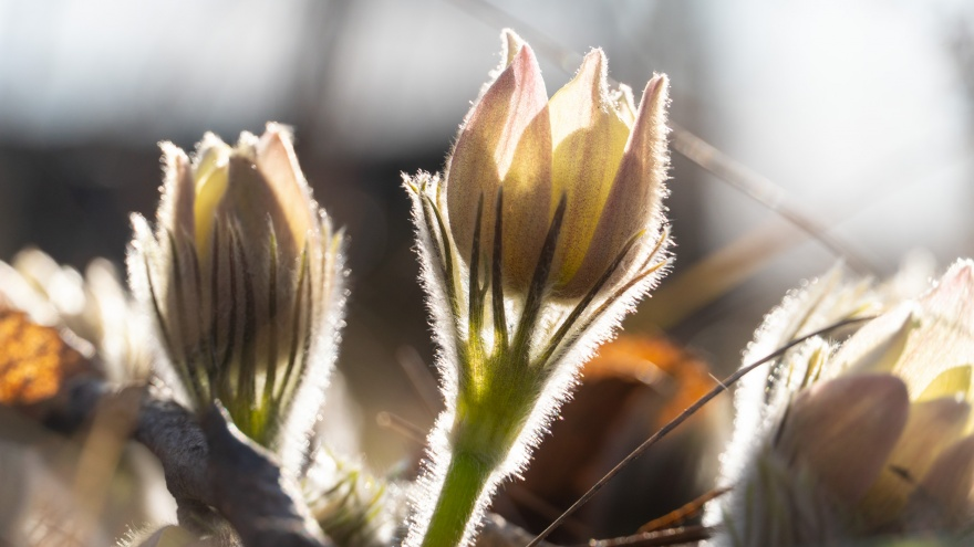 Маленькие посланники тепла: в Омске появились первые цветы