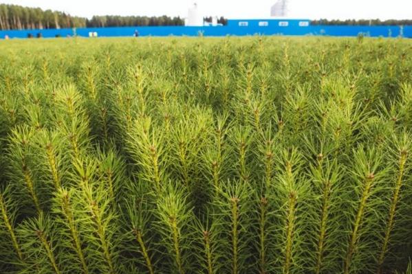 Молодые деревья появятся в Плесецком, Виноградовском, Каргопольском и Пинежском районах