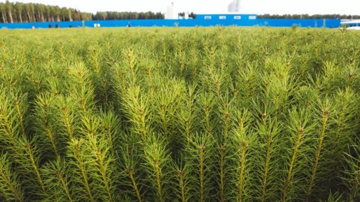 «Елочка, расти»: в регионе высадят 600 гектаров хвои