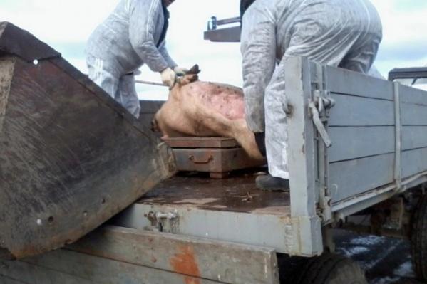 От вируса в Коркино погибло шесть животных