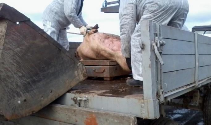 В Челябинской области зафиксировали новую вспышку африканской чумы свиней