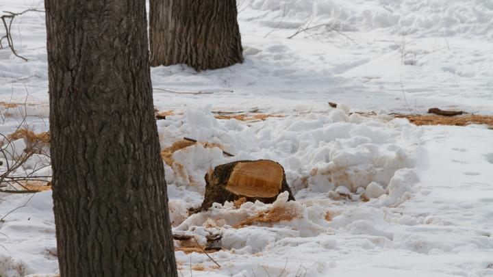 В Советском парке начали вырубать первые из 89 аварийных деревьев