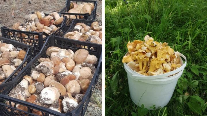 Новосибирцы продолжают собирать урожай грибов. Рассказываем, где пусто, а где их в избытке