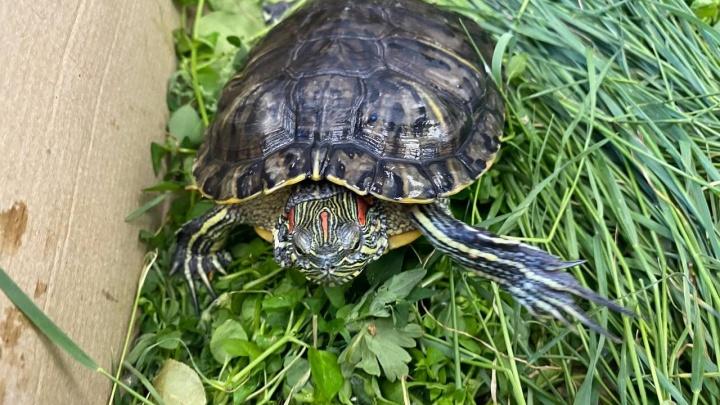 Екатеринбуржец спас черепашку на Шарташе. Бывшие хозяева выкинули животное в озеро, где его ждала смерть