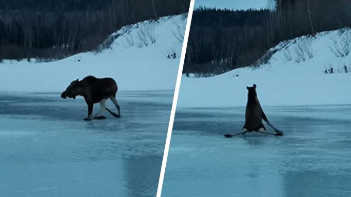 Инспекторы заповедника испугали лося на льду: получился неловкий танец