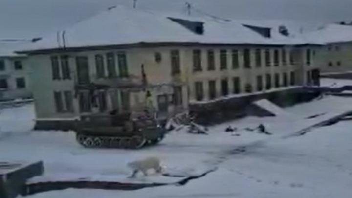 Белый медведь снова вышел в Диксон. Обратно в тундру его выгоняли гусеничной техникой