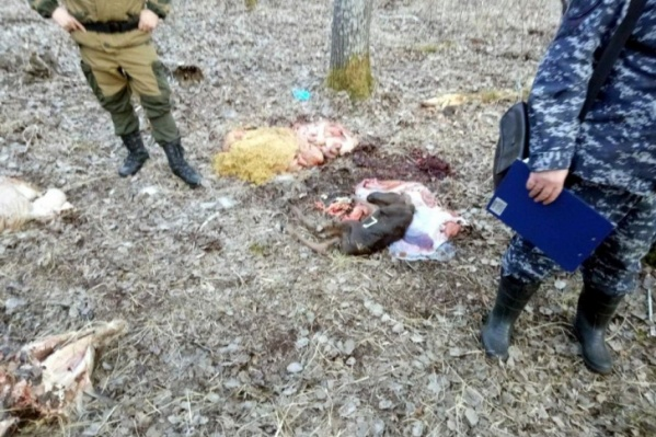 """Охота, в результате которой была убита беременная лосиха, произошла в конце апреля <nobr class=""""_"""">2020 года</nobr>"""