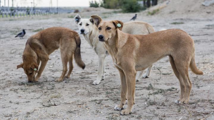 «Покусанные дети — это действительно признак гуманности?»: горожанин — о собаках, терроризирующих улицы Волгограда