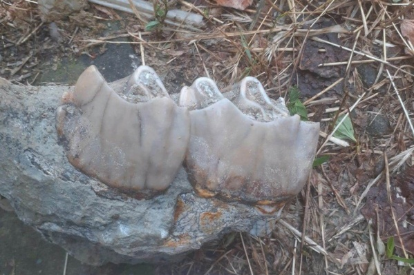 Это зубы древнего носорога