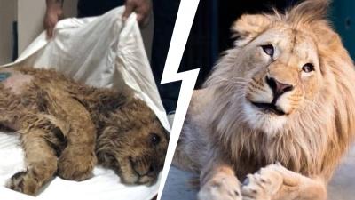 Суд огласил приговор фотографу за издевательства над львенком, спасенным челябинским ветеринаром