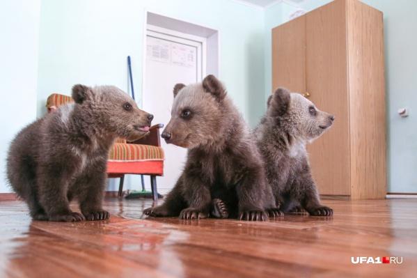 Сейчас косолапые малыши подрастают в медвежьих яслях